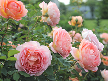 Summer Rose Care 101: Our Experts in Lawn Care in Kirkwood MO Share Tips