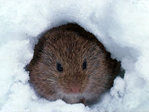 Landscape Protection Measures against Winter Rodents: Landscaping Ballwin MO Experts Share their Tips