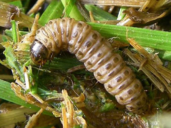 Sod Webworm Control: Lawn Treatments Ballwin MO Experts Share their Tips