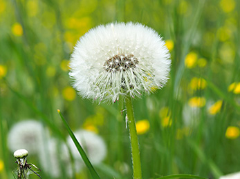Lawn Treatments Chesterfield MO Experts Offer Dandelion Killing Tips
